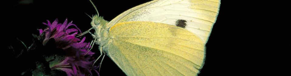 'Cabbage White butterfly on Rough blazingstar' by Dr. Thomas G Barnes