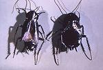 These Oriental cockroaches, Blatta orientalis, wer
