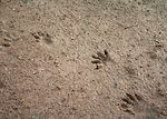 Wildlife tracks.