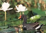 Hawaiin Common Moorhen in Hawaii wetland.