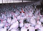 A total of 10,000 turkeys are raised in each build
