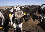 Diary cows in Sacramento Valley, California.