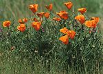 California poppy is a native plant in California.