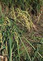 Rice plant head.