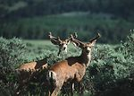 A pair of mule deer