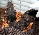 A Florida cottonmouth snake