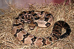 This 2005 image depicted a 'timber rattlesnake', C