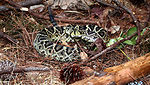 This is a venomous 'Eastern diamondback' rattlesna