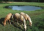 Small farm pond in pasture with horses.  Allegan C