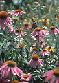Butterfly pollinating purple coneflower in a prair