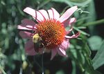 Bumblebee pollinating a purple coneflower.