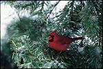 Cardinal in a conifer in a backyard.