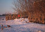 Pheasants and other wildlife species need both foo