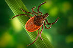 The blacklegged ticks, I. pacificus, (depicted her