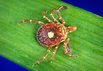 This is a female 'Lone star tick', Amblyomma ameri