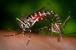This image depicts a pair of Aedes albopictus mosq