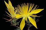 Adonis Blazingstar in bloom