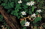 White bloodroot flowers
