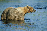 A kodiak brown bear