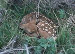 A baby deer.