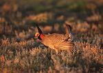 Lesser prairie chicken in Eastern New Mexico.