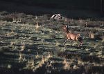 Elk migrating to higher elevations in spring on an