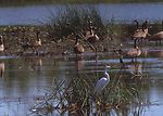 Common egret and Canada geese in a pothole wetland