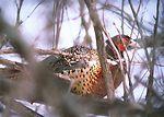 Pheasant in a sloped wetland in South Dakota.