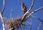 Blue heron with young one in a nest.