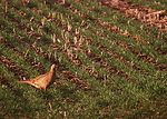 Hen pheasant in a South Dakota wheat field.