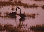 Pair of Canada geese in a temporary pothole wetlan