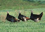 Wild turkeys in farm field near Manhattan, Kansas.