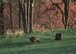 Wild turkeys in farm field near Manhattan, Kansas.