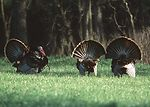 Male turkeys displaying at the edge of a wheat fie