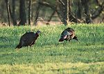 Wild turkeys feeding in wheat field.  Kansas.