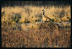 Habitat for ducks and geese on a restored wetland