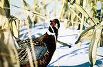 Ringneck pheasant.