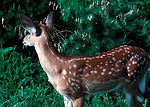 Fawn whitetail deer.