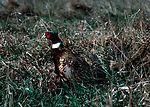Ringtail pheasant in grass in Iowa.