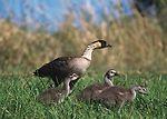 The Nene goose in Hawaii.