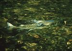 Salmon resting in pool during migration.