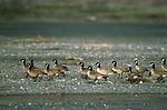 Aleutian Canada Geese