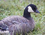 Cackling Canada goose
