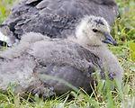 Cackling Canada goose gosling