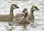 Cackling Canada goose goslings