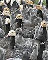 Emperor Goose Round-up