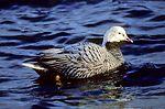 Emperor Goose on Water