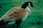 Entangled Canada Goose