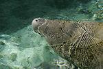 Florida manatee