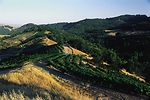 Grapes on steep foothills of California.